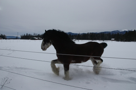 frisky-clydesdale